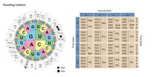 Amino Acid Chart Please Help Me Brainliest Using The Codon Wheel Or Chart