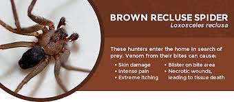 how to kill spiders in house. Best Way To Get Rid Of Brown Recluse Spiders How Kill In House G