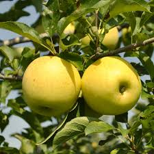 Stark® Golden Delicious Apple Tree - A Stark Bro's Exclusive
