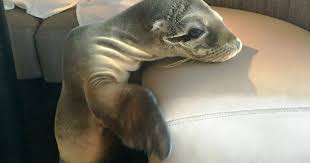 Hungry Sea Lion Pup Seats Itself At Fancy San Diego