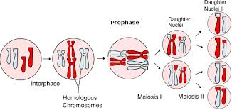 Cell Division Mitosis And Meiosis Biology 1511 Biological