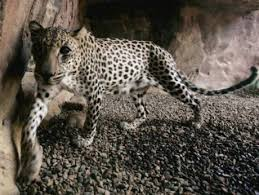 how you can help save the uae s endangered species com feature arabian wildlife 090432323 2009an arabian leopard paces in the shade at the arabian wildlife cimage credit