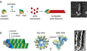 bacteria diffe from eukaryotes
