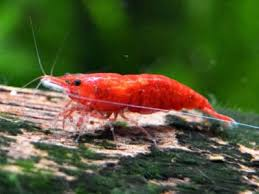 20 Freshwater Shrimp Species Complete List With Pictures
