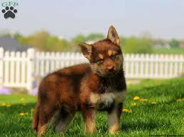 german shepherd mix puppies. Interesting German On German Shepherd Mix Puppies Greenfield