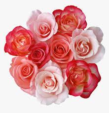 mq pink roses rose flowers flower