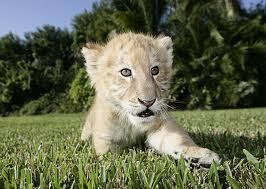 cute baby liger. Beautiful Liger BABY LIGER CUTE Intended Cute Baby Liger N