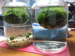 Decorative Moss Balls Accelerating Marimo Growth With CO100 MossBall 54