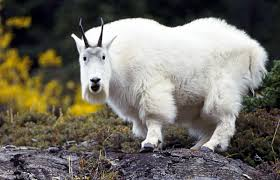 Image result for acting the goat