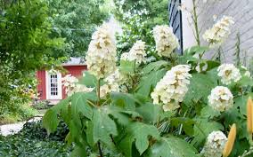 is it time to prune your hydrangeas