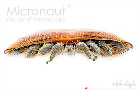 Varroa Mite Varroa Destructor Micronaut The Fine Art Of