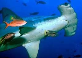 hammerhead shark habitat.  Hammerhead Scalloped Hammerhead Sharks To Shark Habitat