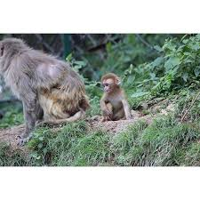 Laminated Poster Simian Angry Mother Baby Monkey Poster Print 24 X 36