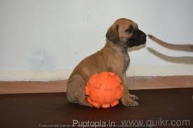 great dane puppies for