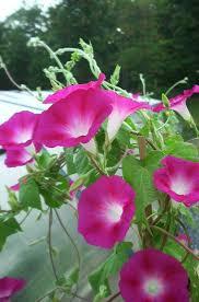 404 | FLOWERS | Маки, Многолетние растения и Цветы