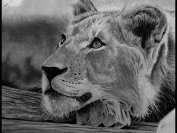 detailed lion drawings in pencil.  Drawings How To Draw Realistic Fur U0026 Whiskers On A Lion Cub  WIP Pencil  Drawing Detailed Drawings In S