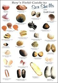Clam Identification Chart Roys Field Guides Birds Fish And Sea Shells To Be Found