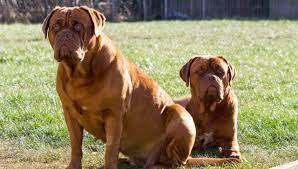 The Dogue De Bordeaux, An Aggressive ...
