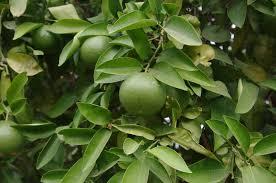 Identification: - Green Fruit Tree In Lebanon | UBC Botanical ...