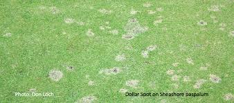 Dollar Spot Disease Ronni Kaptanband Co