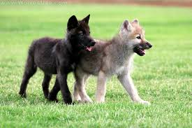 black wolf and white wolf pups. Delighful Pups White Wolf And Black Pups  Photo6 Inside Black Wolf And Pups C