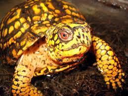 box turtle humidity eastern ornate