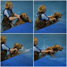 charlie requiring a little help finding the dog pool ramp