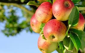 fruit trees wallpapers. Unique Trees Fruit Apple Trees Orchard Nature Wallpaper To Fruit Trees Wallpapers