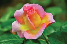 Its name comes from the latin word rosa. Tips For Care Upkeep Of Roses Lifestyle Tulsapeople Com