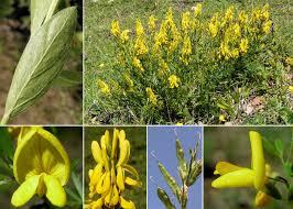 Genista tinctoria L. - Sistema informativo sulla flora delle Alpi ...