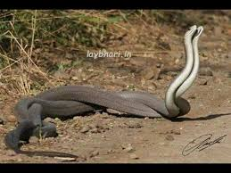 real ichadhari naag nagin. Unique Ichadhari Naag Nagin Khel De Hoye  Real Snakes Can Be A Lot Of Fun And Cool  Companions Inside Ichadhari A