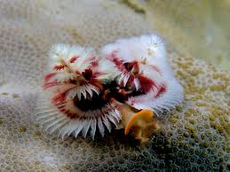 What Are Christmas Tree WormsChristmas Tree Worm Facts