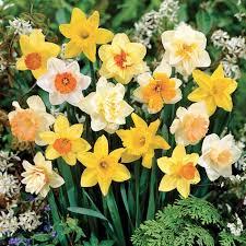 100 days of daffodils 3