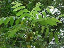 East Pennsboro Township » Tree Identification At Adams Ricci ParkFruit Tree Leaf Identification