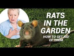 rats in the garden advice control and