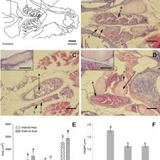 histological and stereological ysis of thyroid tissue in control and chemical exposed fi sh after