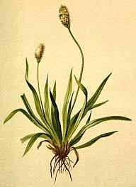 Plantago alpina - Wikipedia, la enciclopedia libre