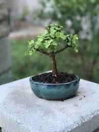 jade bonsai tree bonsai gift wedding favors