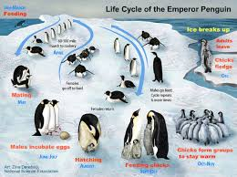 emperor penguin food chain. Unique Emperor EmperorPenguin2jpg For Emperor Penguin Food Chain