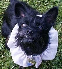 scottish terrier mix. Beautiful Terrier Scottish Terrier Mixes  Hybrids Designer Scotties  And  Dog News Intended Mix E