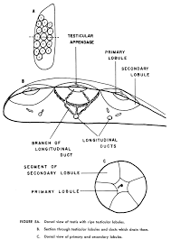 Reproduction life history and ecology of the round stingray