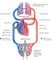 the circulatory system in animals physical education essay