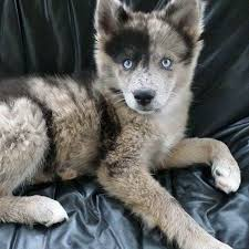 australian shepherd husky mix puppies. Australian Shepherd Husky Mix Puppies On