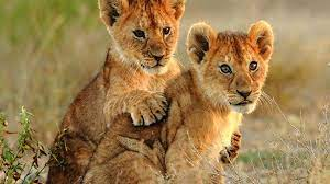 1920x1080, Animal - Lion Cubs ...