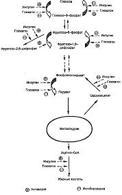 Курсовая работа Сахарный диабет Нарушение обмена белков углеводов  ИНСУЛИН И ГЛЮКАГОН КАК РЕГУЛЯТОРЫ ДЕПОНИРОВАНИЯ И МОБИЛИЗАЦИИ ГЛИКОГЕНА И ЖИРОВ