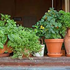 indoor herbs are better than