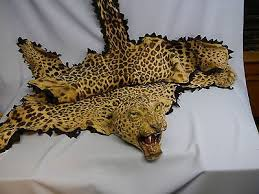 antique taxidermy leopard skin rug with snarling head real teeth claws l k 532998524
