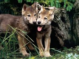 wolf puppies wallpaper. Simple Wallpaper Wolves Images Wolf Pups HD Wallpaper And Background Photos Inside Puppies Wallpaper A