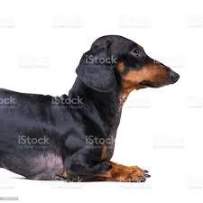 Black Dachshund Dog Breed (Page 2 ...