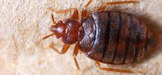 Get Bed Bugs Pictures Gif